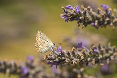 Common Blue butterfly, Polyommatus icarus. Close up of a  Common Blue butterfly, Polyommatus icarus, resting on vegetation in sunlight during daytime in Summer Stock Images