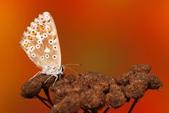 Common blue butterfly Polyommatus icarus stock image