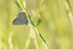 Common Blue butterfly, Polyommatus icarus Royalty Free Stock Photo