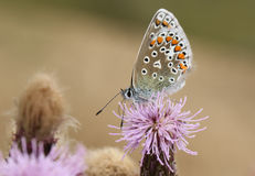Common Blue Butterfly (Polyommatus icarus ). A Common Blue Butterfly (Polyommatus icarus ) feeding on a flower Royalty Free Stock Photo