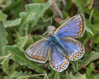 Common blue butterfly (Polyommatus icarus) female Royalty Free Stock Photos