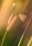 Common blue butterfly Stock Photos