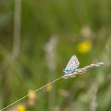 Common Blue Butterfly Polyommatus Icarus on grass stem in Summer Stock Image