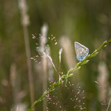Common Blue Butterfly Polyommatus Icarus on grass stem in Summer Royalty Free Stock Photos