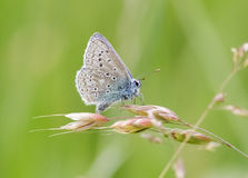 Common Blue butterfly (Polyommatus icarus) Stock Photography