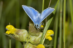 Common Blue Butterfly Stock Photo
