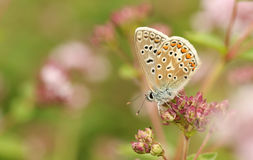 A Common Blue Butterfly Polyommatus icarus nectaring on a flower. Stock Image