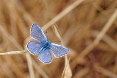 Common Blue Butterfly, Polyommatus icarus on Parched Grass Stem royalty free stock image