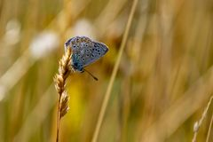Common Blue butterfly Polyommatus icarus perched on a golden g stock photos