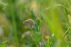 Common Blue butterfly Polyommatus icarus perched on a grass se royalty free stock photography