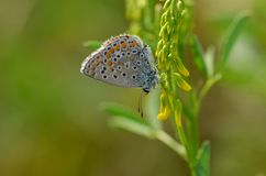 Common Blue butterfly Polyommatus icarus perched on a lilac fl stock image