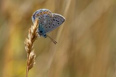 Common Blue butterfly polyommatus icarus resting on a grass st royalty free stock photography