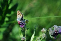 The common blue butterfly Polyommatus icarus butterfly sitting on Cynoglossum officinale. Houndstongue, houndstooth, dog`s tongue, gypsy flower, soft blurry stock photos