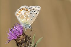 Common blue butterfly on a purple flower Stock Photos