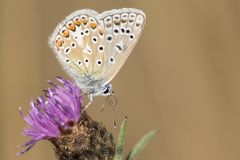 Common blue butterfly on a purple flower Royalty Free Stock Photo