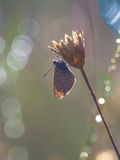 Common Blue Butterfly Silhouette Stock Photography