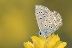 A Common Blue Butterfly on Southampton Common royalty free stock photo