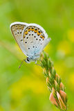 Common Blue butterfly (vertical frame). Common Blue (Polyommatus icarus) butterfly on a wild flowers (vertical frame royalty free stock photography