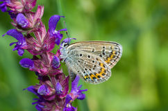 Common Blue butterfly on a wild flower Royalty Free Stock Photography