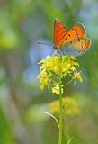 Common Blue butterfly on a yellow flower Royalty Free Stock Photography