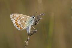 Common blue butterflye Stock Photos