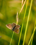 Common blue on a culm Stock Photo