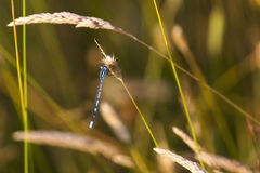 Common Blue Damsel Fly. Stock Photos