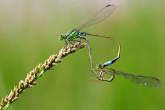 Common Blue Damselflies perched Stock Photos