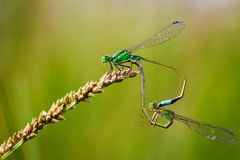 Common Blue Damselflies perched on a leaf Royalty Free Stock Image