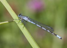Common Blue Damselfly Royalty Free Stock Photography