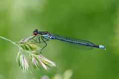 Common Blue Damselfly Royalty Free Stock Image