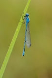 Common Blue Damselfly Royalty Free Stock Image