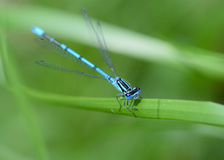 Free Common Blue Damselfly Stock Images - 94258634