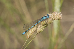 Common Blue Damselfly Stock Image