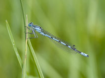 Common blue damselfly, Enallagma cyathigerum Royalty Free Stock Image