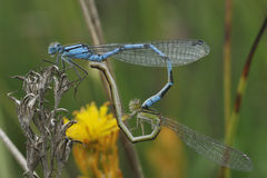 Common Blue Damselfly stock photography