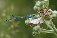 Common Blue Damselfly Enallagma cyathigerum perched on a flower. Stock Photos