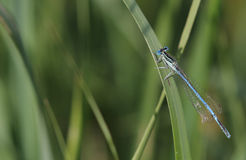 Common Blue Damselfly (Enallagma cyathigerum) sits on a grass by Royalty Free Stock Photography