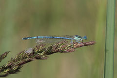 Common Blue Damselfly (Enallagma cyathigerum) sits on a grass by Royalty Free Stock Photo