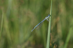 Common Blue Damselfly (Enallagma cyathigerum) sits on a grass by Stock Image