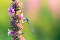 Common blue damselfly Stock Photos