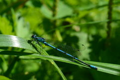 Common blue damselfly Royalty Free Stock Images