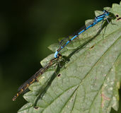 Common blue damselfly mating Royalty Free Stock Images