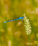 Common blue damselfly at rest Stock Image