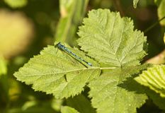 Common Blue Damselfly on stinging nettle leaves. Stock Photo