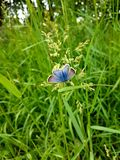 Common Blue Female Butterfly stock photo