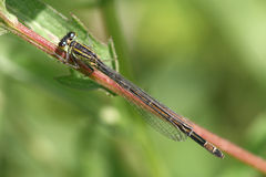 Common Blue Female Damselfly Royalty Free Stock Photography