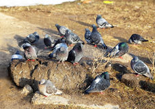 Common blue-gray doves in the city Stock Photography