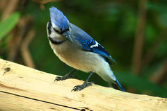 The common Blue Jay, adds color wherever it goes. A Blue Jay on a Fence Post Stock Photos