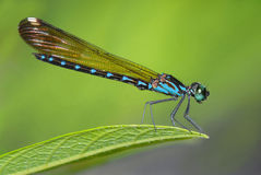 Common Blue Jewel(M). The Damselfly Common Blue Jewel(M Stock Image